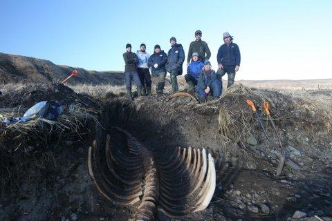 На Командорах обнаружен практический полный скелет морской коровы Стеллера