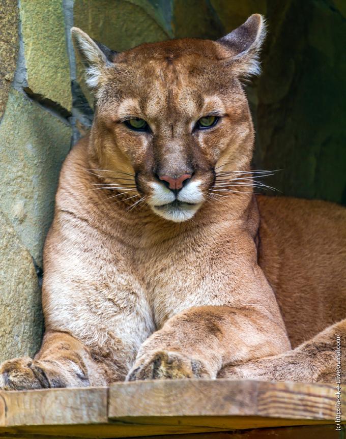 Вниколаевском зоопарке отравили снежного барса ипуму