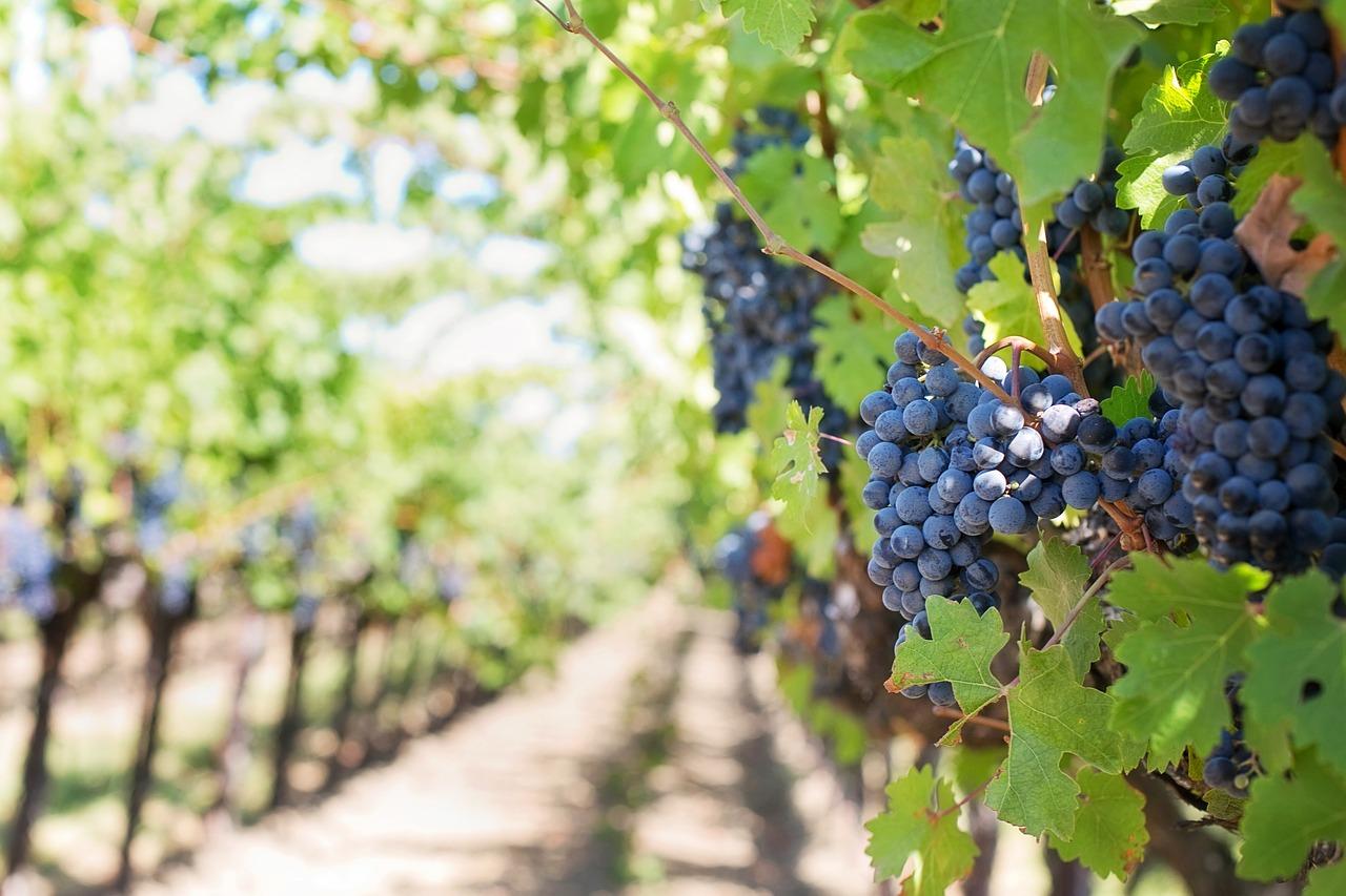 Закарпатских виноделов уличили в махинациях
