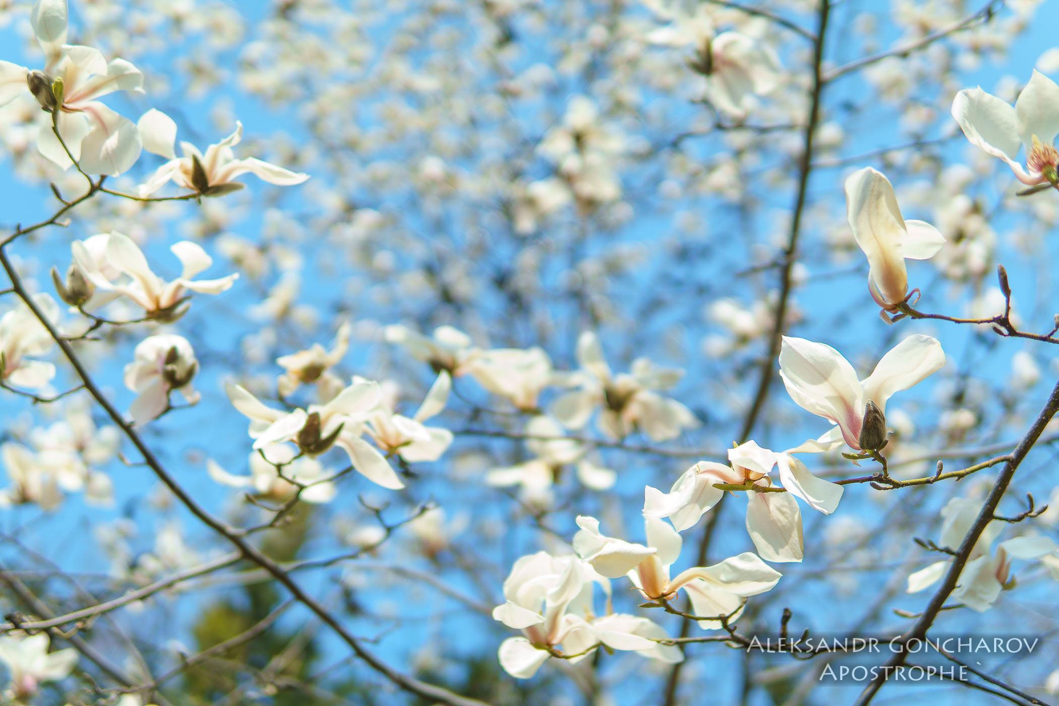 Першими цвітуть білі магнолії