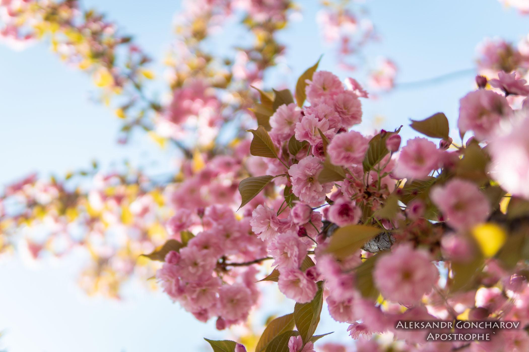 Щоб побачити цвітіння сакури, необов'язково їхати в Японію