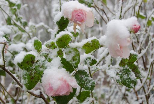 Цветы 'тонут' в снегу: Украину после аномального тепла засыпало снегом